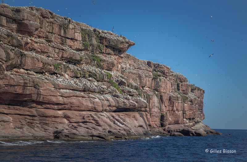 Northern Gannet colony, Bonadventure Island, Gulf of St-Lawrence, Sept 05, 2016, Canon 6D, 1/250, F10, ISO 320
