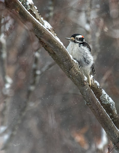 Downy Woodpecker, Algonquin Park, March 1, 2017, Canon 7D, 400mm, 1/250, F7.1, ISO 500