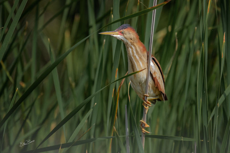 Least Bittern, Bay of Quinte, June 24, 2019, Canon 7D Mark II, 100-400mm,(260mm) 1/1250, F8.0, ISO 250
