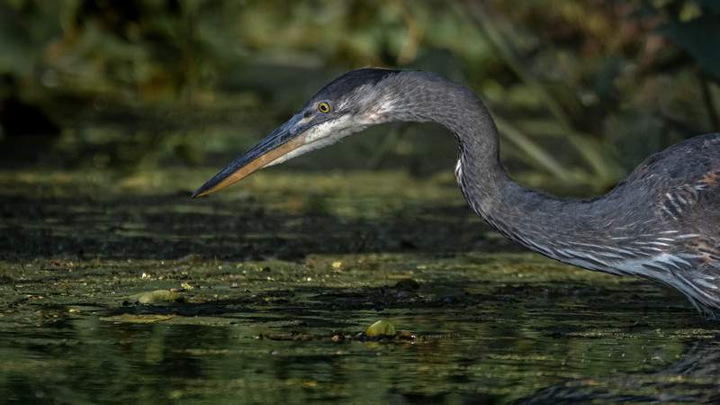 Blue Heron, Moira River, August 2, 2019, Canon 7D Mark II, 1/1250, F8.0, ISO 320