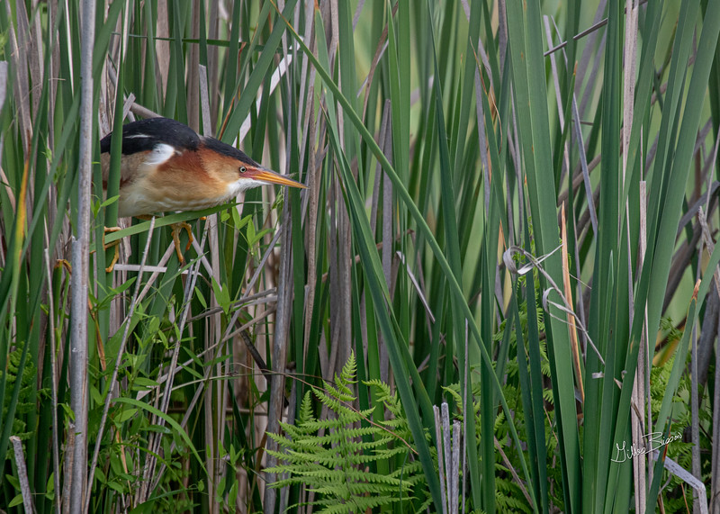 Least Bittern, Bay of Quinte, June 24, 2019, Canon 7D Mark II, 100-400mm,(375mm) 1/1250, F6.3, ISO 500