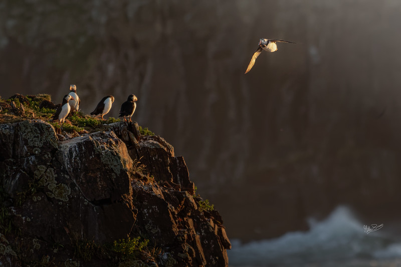 Puffins, Elliston, Newfoundland, August 25, 2019, Canon 7D Mark II, 1/1250, F7.1, ISO 640