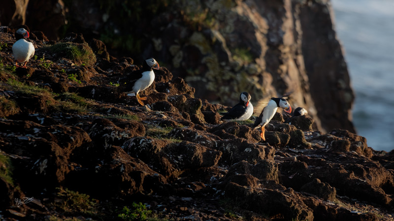 Puffins, Elliston, Newfoundland, August 25, 2019, Canon 7D Mark II, 1/320, F7.1, ISO 250