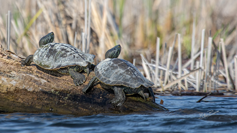 Map turtles, Blessington Creek, Bay of Quinte, May 19, 2019, Canon 7D Mark II, 1/1600, F7.1, ISO 200