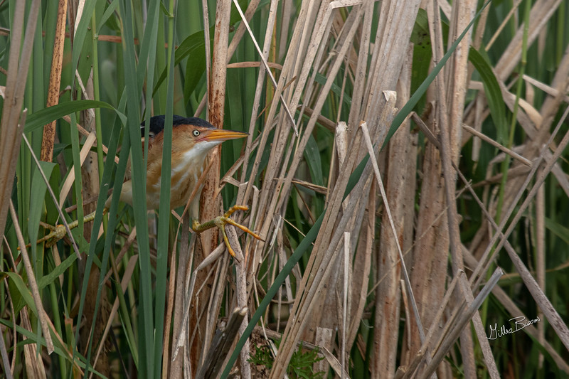 Least Bittern, Bay of Quinte, June 24, 2019, Canon 7D Mark II, 100-400mm,(375mm) 1/1250, F7.1, ISO 400