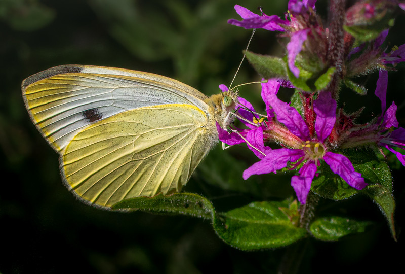 Cabbage White Butterfly, Aug 6, 2019, Belleville backyard, Canon 7D Mark 2, 100mm, close-up lens, 1/1250, F10, ISO 250