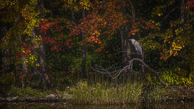 Great Blue Heron, Moira River, October 08, 2019, Canon EOS R, 1/100, F14, ISO 100