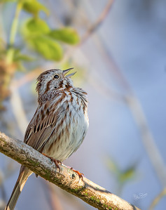 Swamp Sparrow, Presqu'ile Provincial Park, May 19, 2020, Sony 7RIV, 200-600mm, 1/500, F7.1, ISO 250