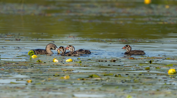 Pied-billed Grebe with chicks, Frink Centre, June 15, 2020, Sony AR7VI, 200-600 mm, 1/1600, F6.3, ISO 250