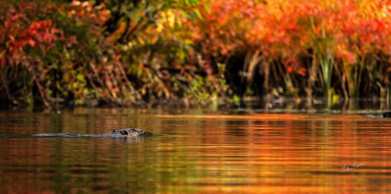 Beaver..fall colours, Moira river, September 28, 2020, sony A7RVI, 100-400mm, 1/160, F8.0, ISO 500