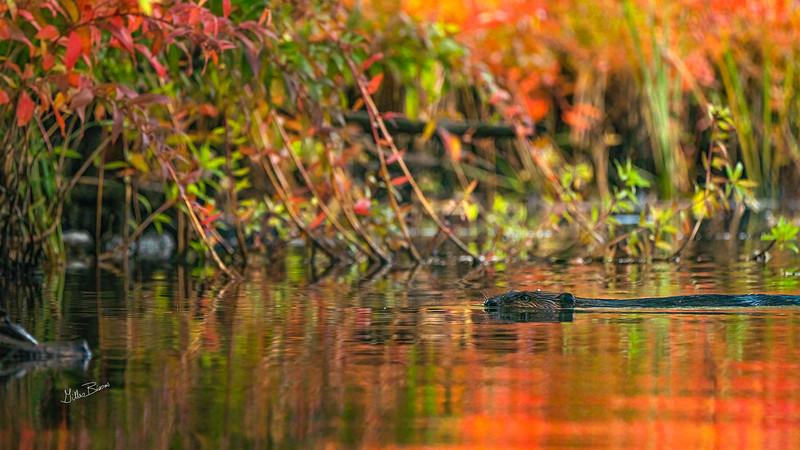 Beaver..fall colours, Moira river, September 28, 2020, sony A7RVI, 100-400mm, 1/800, F8.0, ISO 1250
