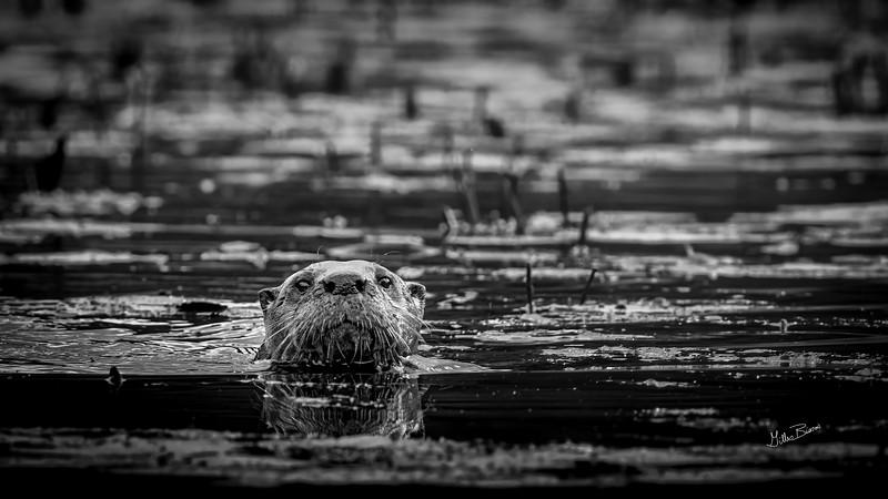 River Otter B&W, Moira river, September 28, 2020, sony A7RVI, 100-400mm, 1/160, F11.0, ISO 800
