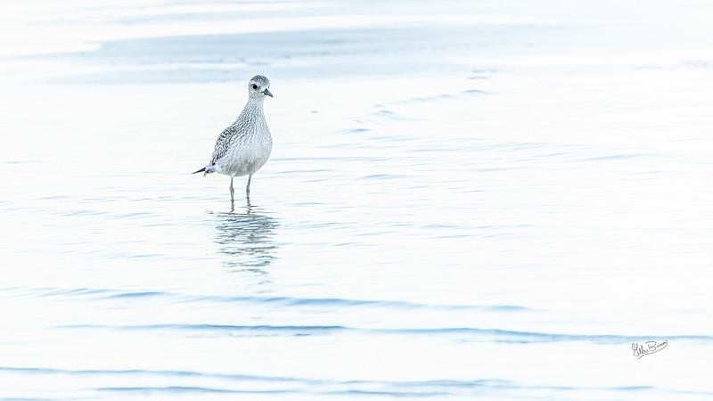 Shore bird, Presqu'ile Povincial Park, September 21,2020, Sony AR7IV, 100-400mm,1/400, F5.6, ISO 640