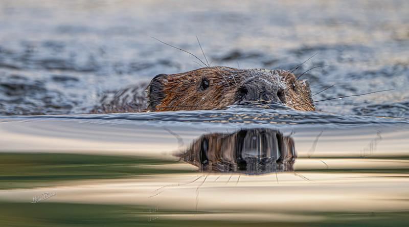 Beaver, Moira river, September 28, 2020, sony A7RVI, 100-400mm, 1/160, F8.0, ISO 500