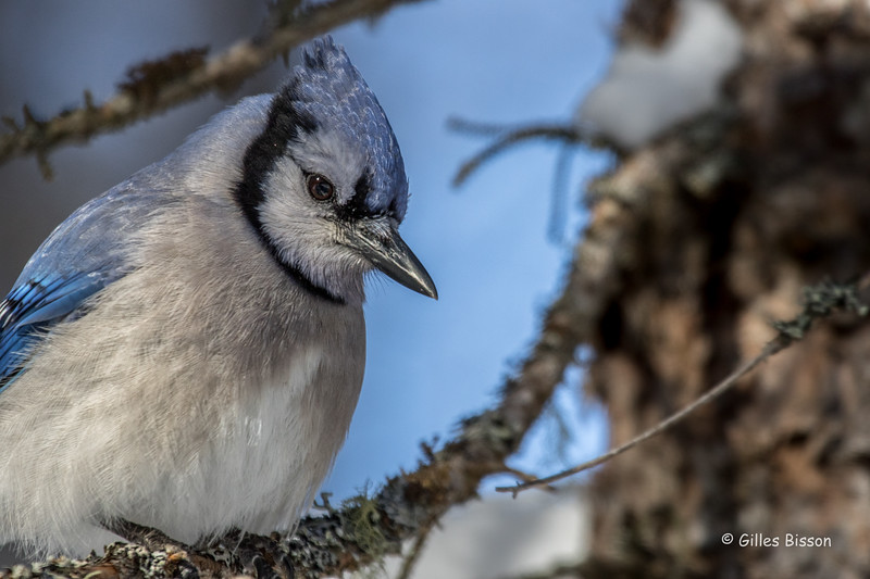 Blue Jay, Algonquin Park, March 3 2016, Canon 7D MarkII, 100-400mm, 1/1000,F6.3, ISO 500