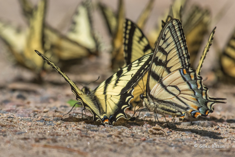 Canadian Tiger Swallowtail, June 01, 2015, Algonquin Park, Canon 7D Marl II, 100-400mm, 1/2500,F9,ISO 800