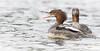 Squawking Common Merganser, Source Lake, Algonquin Park, September 27, 2017, Canon 7D, 375mm, 1/1000,F7.1, ISO 800