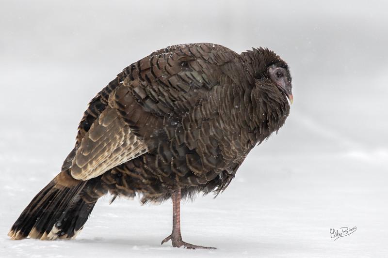 Cold Wild Turkey, Algonquin Park, February 27, 2019, Canon 7D Mark II, 100-400mm.1/500, F7.1, ISO 800