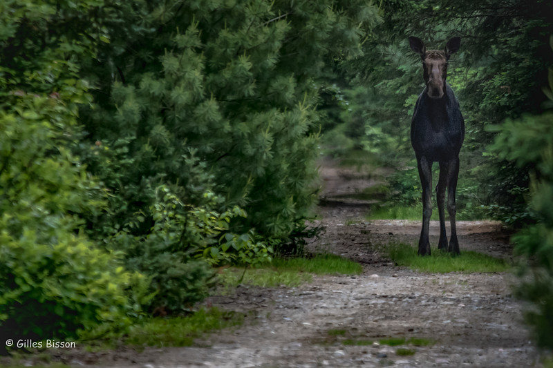 Moose, Algonquin Park, June 16, 2016, Canon 7D Mark II, 1/400,F5.6, ISO 800