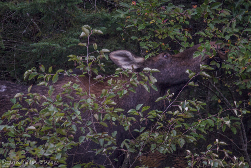 Cow Moose feeding, September 24 2012, Algonquin Park