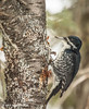Black-backed Woodpecker, female,March 10 2013, Algonquin Park