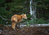 Red Fox, Arowhon road, Algonquin Park, September 28, 2017,Canon 7D, 130mm, 1/640, F6.3, ISO 800