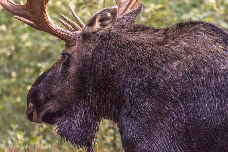 Bull Moose, September 24 2012, Algonquin Park