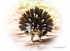 Spruce Grouse, Spruce Bog, Algonquin Park, Sept 25 2013, #7543, Canon 6D-1/800-F5.6-ISO1000-LR5
