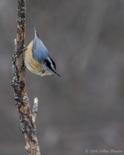 Red-breasted Nuthatch, March 10 2012, Algonquin Park
