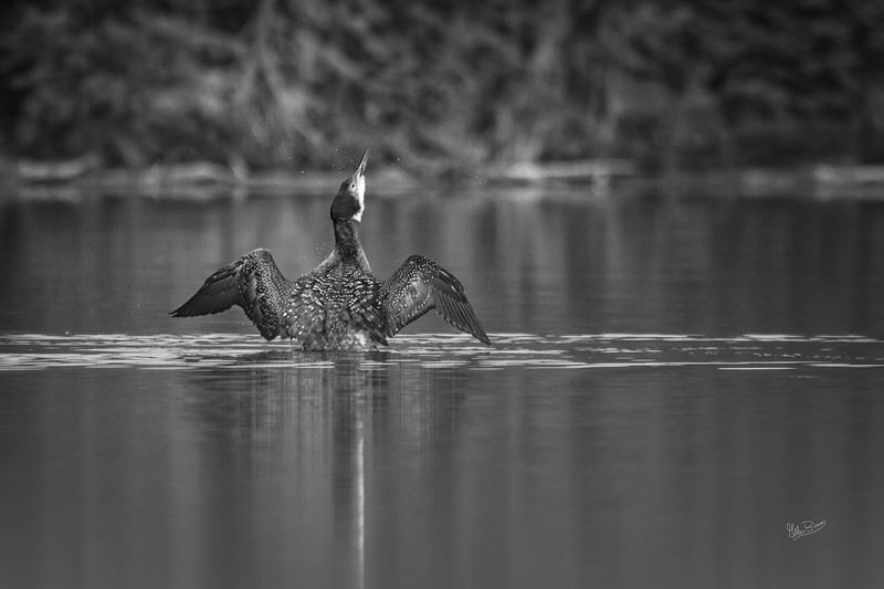 Juvenile Common Loon in B&W