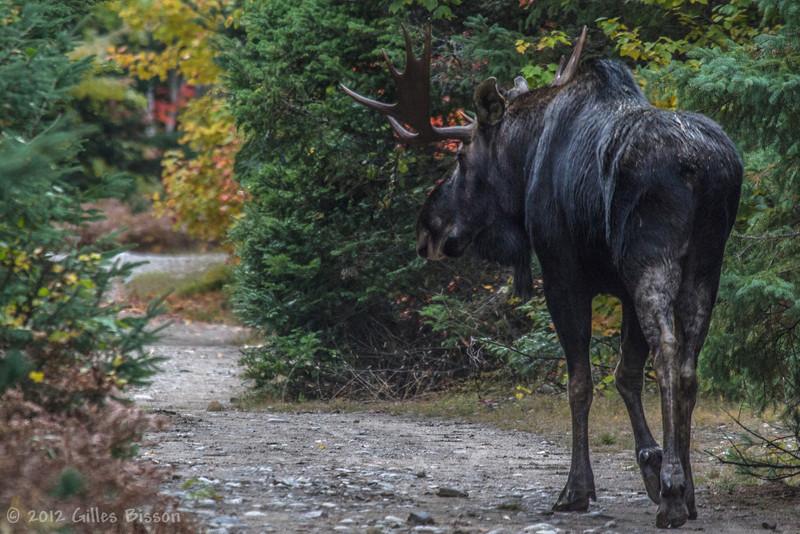 Bull Moose, September 26 2012, Algonquin Park