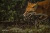 Fox,Arowhon Road, Algonquin Park,Sept 26 2014,Canon T3i, !/1250,F8.0,ISO200