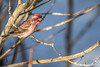 Purple finch,March 11 2012, Algonquin Park