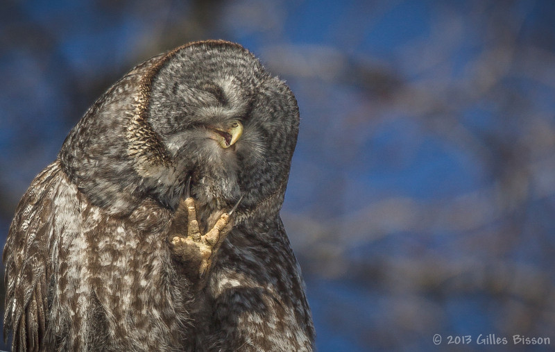 Itchy Great Gray Owl, March 08 2013, Algonquin Park
