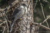 Gray Jay, March 8 2013,  Algonquin Park