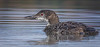 Juvenile Common Loon