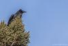 Common Raven, March 09 2012, Algonquin Park