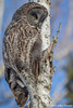 Great Gray Owl, March 09 2013, Algonquin Park