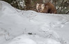 Pine Marten, Algonquin Park, Mew Lake, February 27, 2019, Canon 7D Mark II, 100-400mm, 1/320, F7.1, ISO 400