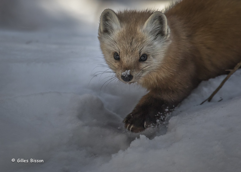 Pine Marten, Algonquin Park, March 05 2015, Canon 6D MarkII, 100-400mm,1/800,F7.1,ISO1000