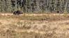 Bull Moose, Spruce Bog trail, Algonquin Park,Sept 28 2013, #8617, Canon 6D-1/500-F5.6-ISO800-LR5