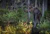 Moose, Algonquin Park, June 03, 2015, Canon 7D Mark II, 100-400mm,1/160, F7.1, ISO 1250.