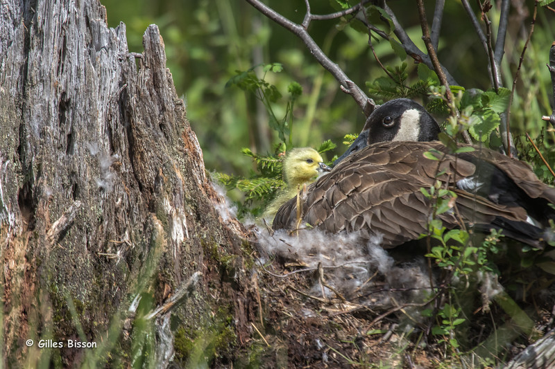 Canada Goose with Gosling, June 01,2015, Algonquin Park, Canon 7D Mark II, 100-400mm,1/1250.F7.1,ISO 500