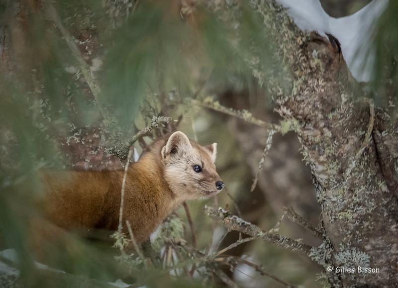 Pine Marten, Algonquin Park, March 5 2016, Canon 7D markII,100-400mm,1/1250,F7.1,ISO 4000