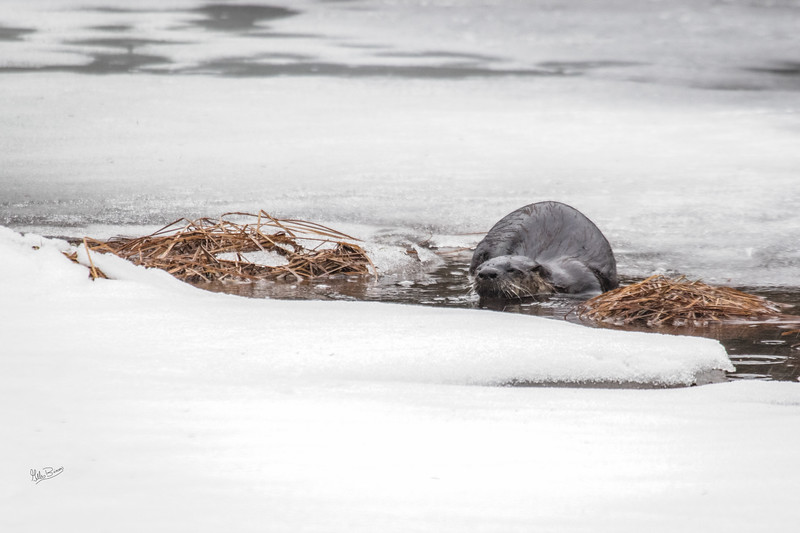 River Otter, Algonquin Park, March 1, 2017, Canon 7D Mark II, 1/250, F6.3, ISO 800