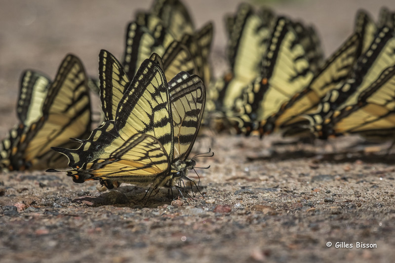 Canadian Tiger Swallowtail, June 01, 2015, Algonquin Park, Canon 7D Marl II, 100-400mm, 1/2500,F10,ISO 800