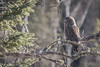 Great Gray Owl, March 08 2013, Algonquin Park