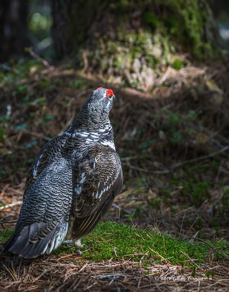 Spruce Grouse, Spruce Bog, Algonquin Park, Sept 25 2013, #7716, Canon 6D-1/250-F7.1-ISO1600-LR5