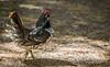 Spruce Grouse, Spruce Bog, Algonquin Park, Sept 25 2013, #7537, Canon 6D-1/800-F6.3-ISO800-LR5