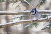 Blue Jay, March 10 2012, Algonquin Park